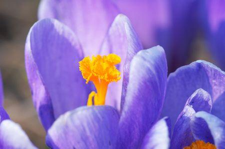Pierwszy kwiat wiosny. przebiśnieg Zdjęcie Seryjne - 556769