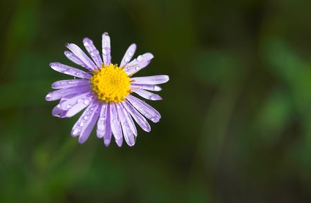 close up Alpine aster with water drops after rain photo