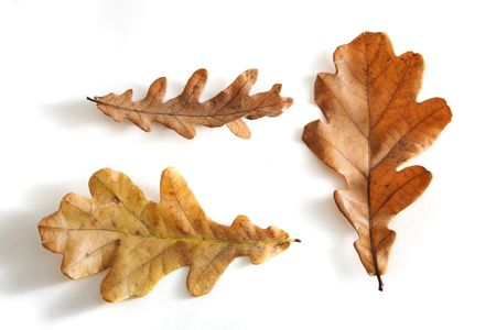 three autumn colored oaks leaves isolated on white photo
