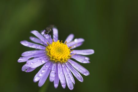 close up Alpine aster with  drops after rain photo
