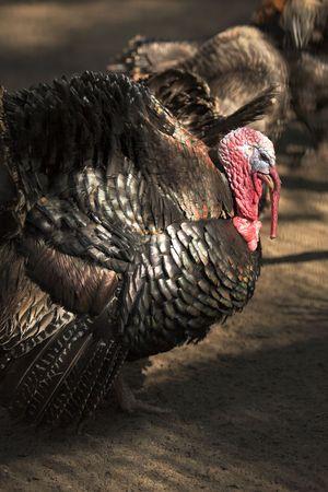 arrogancia: Turquía, con el cuello arrugado. cerca retrato Foto de archivo