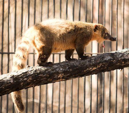 novosibirsk: wild animal in the Novosibirsk zoo. coatimundi