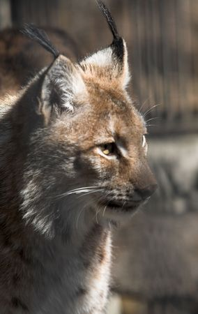 Siberian lynx kitten pays no attention for a photographer Stock Photo - 3512174