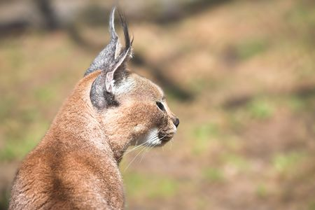 wild cat portrait. caracal photo close up Stock Photo - 3512227