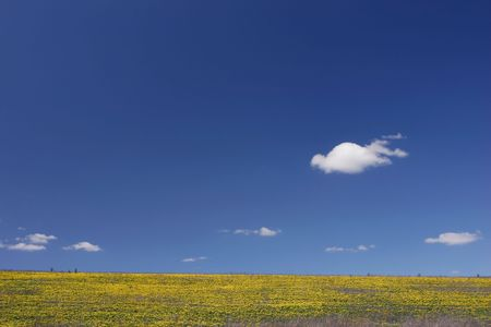 field of yellow flower with blue sky above photo