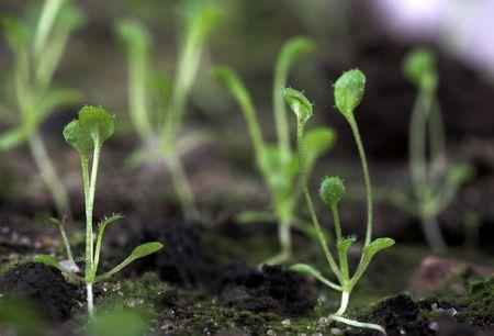 modificaci�n: de plantas transg�nicas de Arabidopsis. Las pruebas de laboratorio para la modificaci�n Foto de archivo