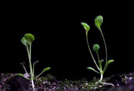 modificaci�n: plantas transg�nicas de Arabidopsis. Las pruebas de laboratorio para la modificaci�n