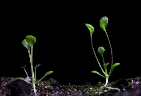 transgenic: transgenic plant of Arabidopsis. Laboratory test for modification