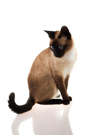 chasing tail: Cat sitting elegantly on white isolated background