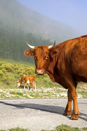 attentively: Brown big cow standing and looking attentively