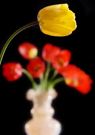 red and yellow tulips isolated on the black background Stock Photo - 4352527