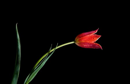 red tulip isolated on the black background Stock Photo - 4445727