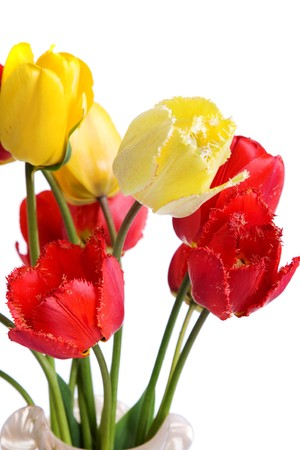 red and yellow tulips isolated on the white background photo