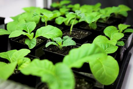 transgenic: Scientific laboratory growing tobacco. selection for transgenic plant
