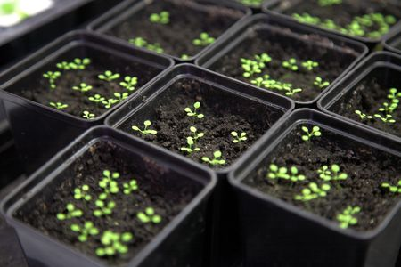 transgenic: Scientific laboratory growing arabidopsis. selection for transgenic plant