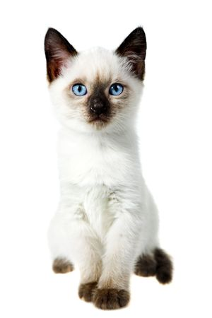 kitten small white: Siamese cat isolated on the white background