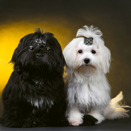 brown and black dog face: black and white small dogs Stock Photo