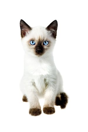 Siamese cat isolated on the white background photo