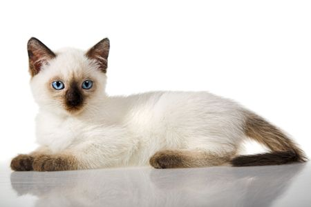 Siamese kitten isolated on the white background photo