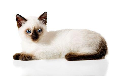 白の背景に分離したシャムの子猫