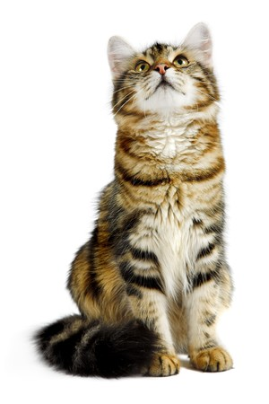 intriguing: striped siberian cat isolated on white background