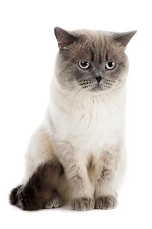 gray cat: British cat isolated on the white