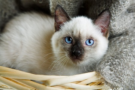 Siamese cat lying in the bast basket Stock Photo - 7965962