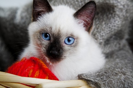 bast basket: Siamese cat with ball of threads in bast basket