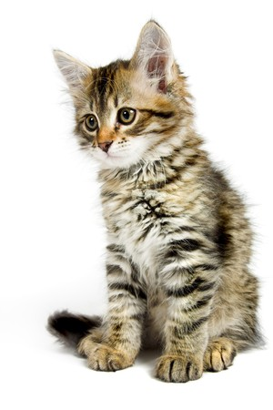 Siberian kitten isolated on the white background photo