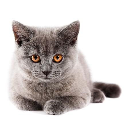 흰색에 고립 된 영국 새끼 고양이