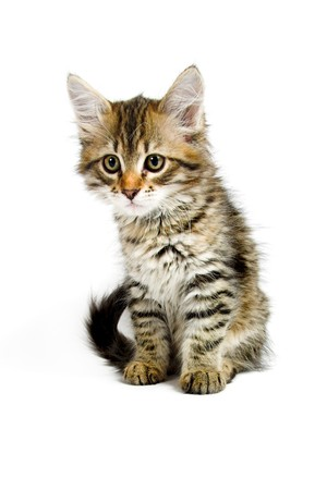 Siberian kitten photo