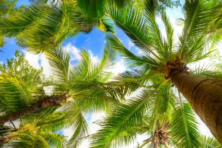 trunks: palm tree on blue sky and white clouds