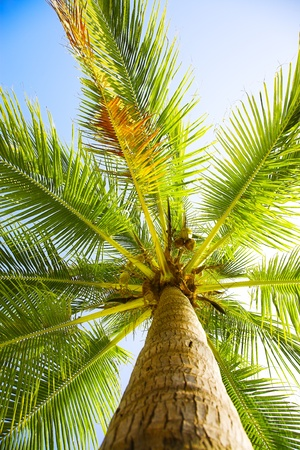 foreshortening: coconut palm on the blue sky background