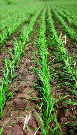 Green sprouts and foliage of the wheat photo