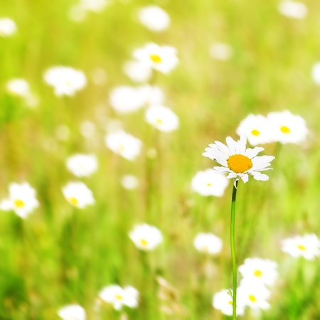 beautiful white camomile in the summer field  Stock Photo - 8773113