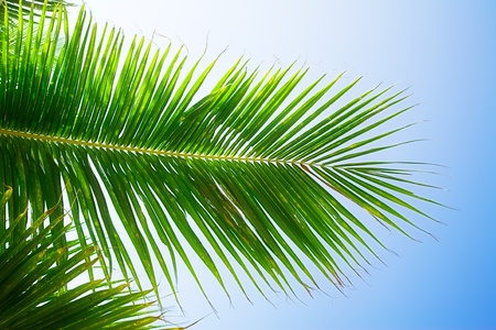 low angle views: coconut palm leaves on blue sky background Stock Photo