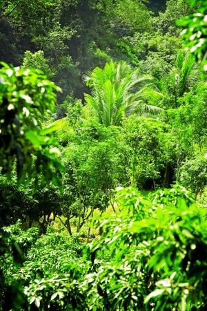 Big palm tree in the wild rainforest