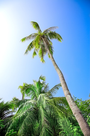 coconut palm on the blue sky background photo