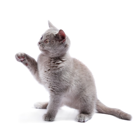 gray cat: British kitten isolated on the white