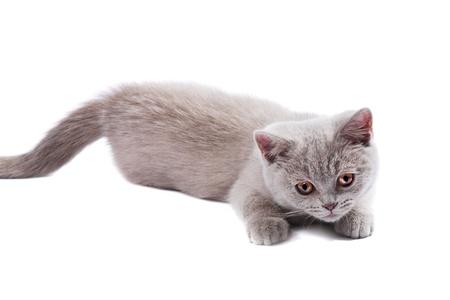 British kitten isolated on the white Stock Photo - 8988050