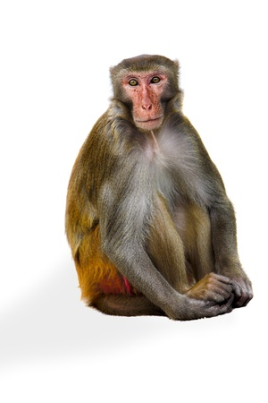 male macaque sitting isolated on white background