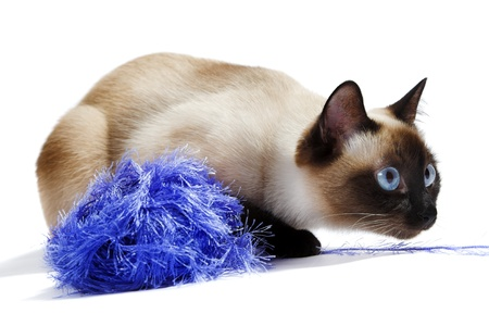 blue siamese: Siamese cat isolated on the white background