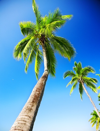 coconut palm on the blue sky background