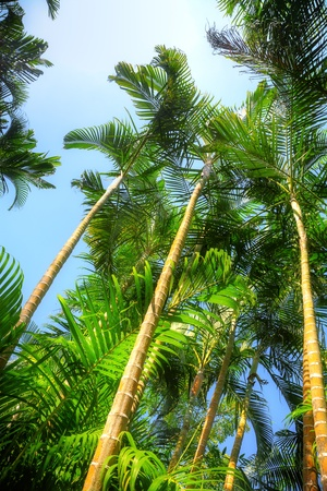 Tropical forest with areca palm (Areca catechu) photo