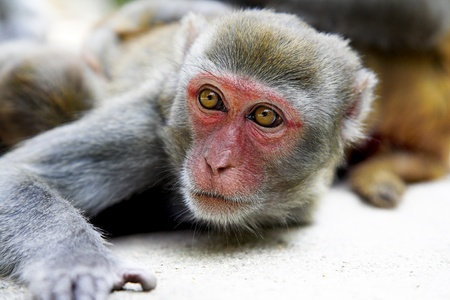 macaque: cute macaque resting in the tropic park Stock Photo