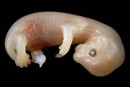 developmental biology: mink embryo isolated on the black background