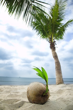 progeny: coconut sprout on the tropical sea beach