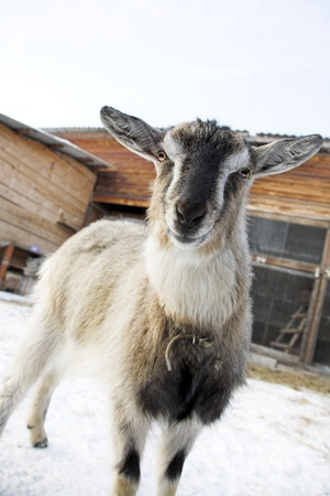 wondered: wondered stared nanny-goat in the winter farm Stock Photo