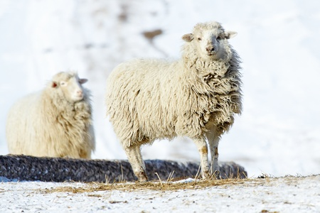two white sheeps on the winter field photo