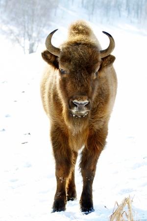 bison: close-up portrait of wild bison in winter
